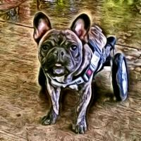 Phoenix, the French Bulldog;True Story of a Cart Dog