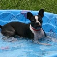 Introducing your Boston terrier  to water: Part 1 of 2