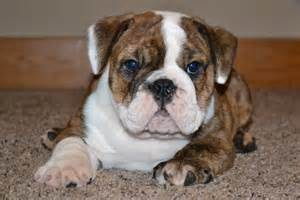 PUPPY ENGISHBULLDOG