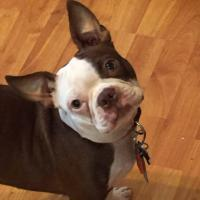 Interesting Facts That Only A Boston Terrier Lover Would Know: