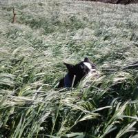 Healthy dose of greenies -Why does my dog eat grass?